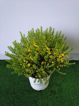 Planta De Exterior - Planta De Temporada - Euriops Virgineus 1,6l