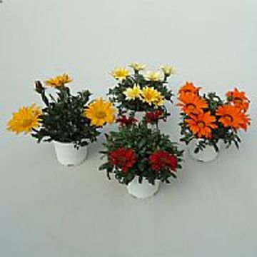 Planta De Exterior - Planta De Temporada - Gazania Maceta 15cm