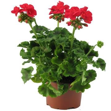 Planta De Exterior - Planta De Temporada - Geranio Maceta 14cm