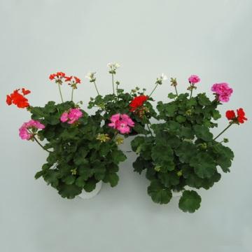 Planta De Exterior - Planta De Temporada - Geranio Maceta 15cm