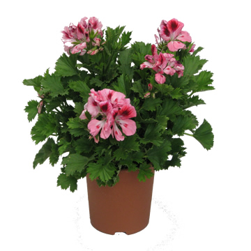 Planta De Exterior - Planta De Temporada - Geranio Grandiflora Pelargonio M17