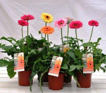 Planta De Exterior - Planta De Temporada - Gerbera Patio Maceta 18cm