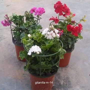 Planta De Exterior - Planta De Temporada - GITANILLA MACETA 13CM