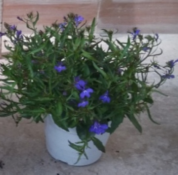 Planta De Exterior - Planta De Temporada - Lobelia Maceta 14cm