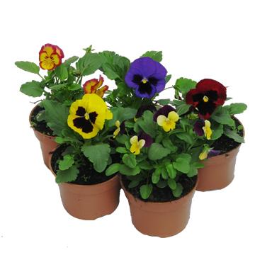 Planta De Exterior - Planta De Temporada - Pensamiento Colores Maceta 10,5cm