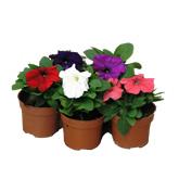 Planta De Exterior - Planta De Temporada - Petunia M10,5