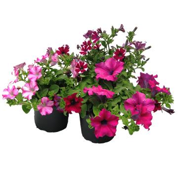 Planta De Exterior - Planta De Temporada - Petunia Colgante M14