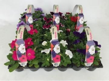 Planta De Exterior - Planta De Temporada - Petunia Pack De 6 Uds Varios Colores