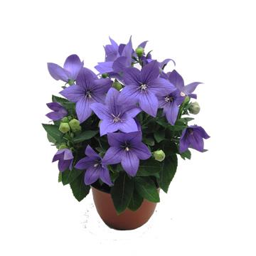 Planta De Exterior - Planta De Temporada - Platycodon Blanco Y Azules M14