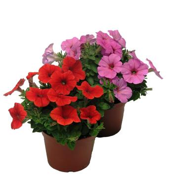 Planta De Exterior - Planta De Temporada - Potunia Maceta 14cm Colores Varios