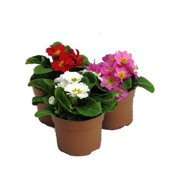 Planta De Exterior - Planta De Temporada - Primula Acaulis Mix Maceta 9cm