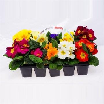 Planta De Exterior - Planta De Temporada - Primula Acaulis Mix Pack 10 Uds