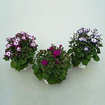 Planta De Exterior - Planta De Temporada - Senetti Pericallis M15