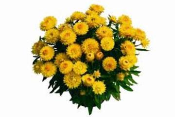 Planta De Exterior - Planta De Temporada - Siempreviva Maceta 15cm Varios Colores