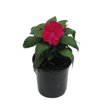 Planta De Exterior - Planta De Temporada - Sunpatiens M14