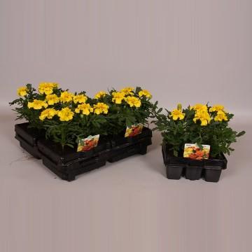 Planta De Exterior - Planta De Temporada - Tagete Amarillo Pack De 6uds
