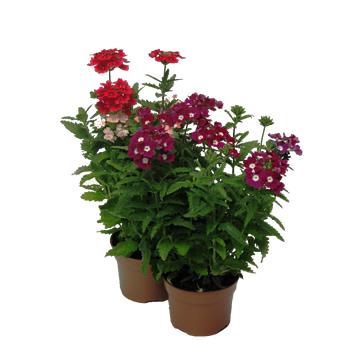 Planta De Exterior - Planta De Temporada - Verbena M13