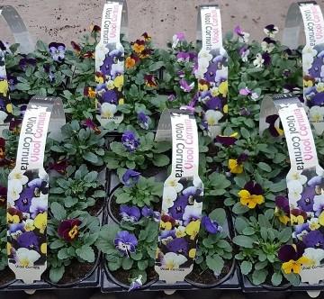 Planta De Exterior - Planta De Temporada - Viola Cornuta Pack 6uds Maceta 9cm