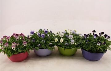 Planta De Exterior - Planta De Temporada - Viola Tarrina 23cm