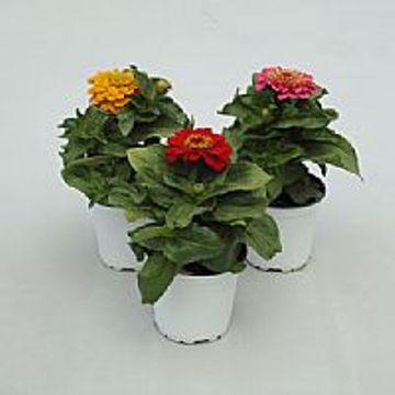 Planta De Exterior - Planta De Temporada - Zinnia M13