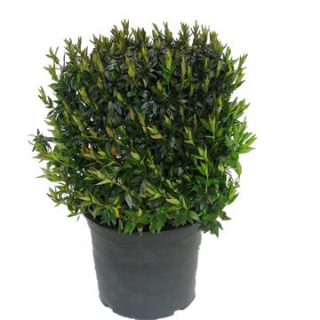 Planta De Exterior - Todas - Abelia Postrata Maceta 5l