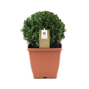 Planta De Exterior - Arbustos  Perennes - Boj Bola Maceta 21cm Y Bola 20cm Aprox.