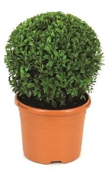 Planta De Exterior - Todas - Boj De Bola 40cm Bola M26