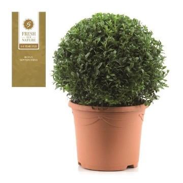 Planta De Exterior - Arbustos  Perennes - Boj De Bola 28cm Diametro Y Maceta De 23cm