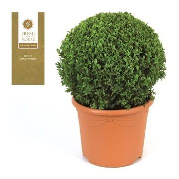 Planta De Exterior - Arbustos  Perennes - Boj De Bola 32cm Diametro Y Maceta De 26m