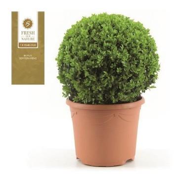 Planta De Exterior - Arbustos  Perennes - Boj De Bola 40cm Diametro Maceta De 29cm