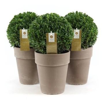 Planta De Exterior - Arbustos  Perennes - Boj De Bola 20cm Y Bola M19cm