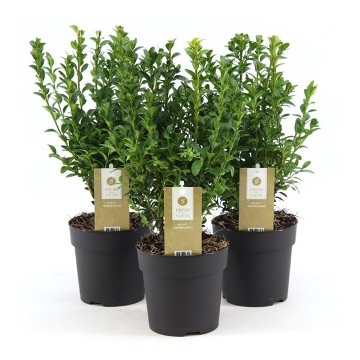 Planta De Exterior - Arbustos  Perennes - Boj Maceta 11cm 20/25cm Alto