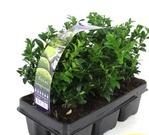 Planta De Exterior - Arbustos  Perennes - Boj En Pack De 6 Plantas Pequeñas