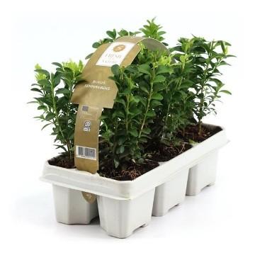 Planta De Exterior - Todas - Boj En Pack De 6 Plantas Pequeñas