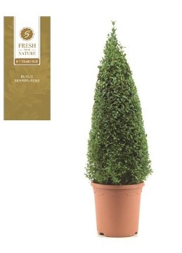 Planta De Exterior - Arbustos  Perennes - Boj Piramidal Altura 55cm Maceta De 21cm