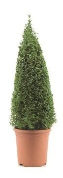 Planta De Exterior - Arbustos  Perennes - Boj Piramidal 60cm Alto M21