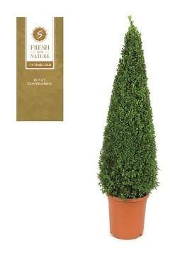 Planta De Exterior - Arbustos  Perennes - Boj Piramidal Altura 80/90 Maceta De 31cm