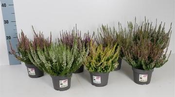 Planta De Exterior - Arbustos  Perennes - Calluna Garden Girls Alto 15cm Y Maceta 12cm