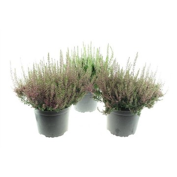 Planta De Exterior - Todas - Calluna Beauty Ladies Maceta 17cm