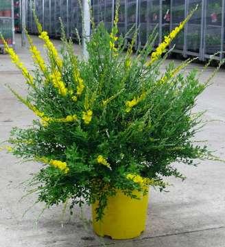 Cytisus m17 arbustos perennes planta de exterior - Plantas perennes exterior ...