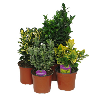 Evonimo japonica arbustos perennes planta de exterior - Plantas perennes exterior ...