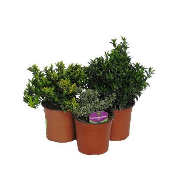 Planta De Exterior - Arbustos  Perennes - Evonimo Pulchellus