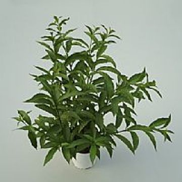 Planta De Exterior - Arbustos  Perennes - Galan De Noche C1,6 Lt