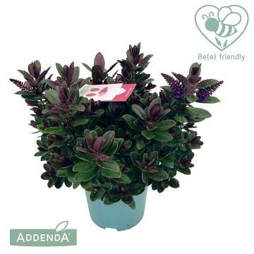 Planta De Exterior - Arbustos  Perennes - Hebe Addenda Vinoa Purple 25cm Alto Y Maceta 15cm