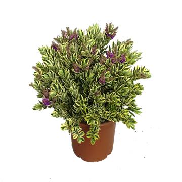 Planta De Exterior - Arbustos  Perennes - Hebe Variegata Maceta 17cm