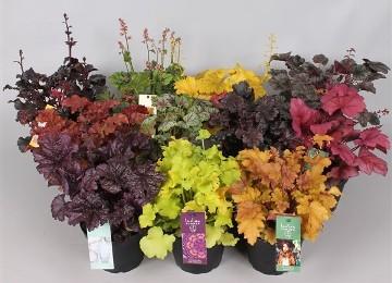 Planta De Exterior - Arbustos  Perennes - Heuchera Mixto Maceta 12cm