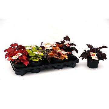 Planta De Exterior - Arbustos  Perennes - Heuchera Indian Summer Mix Alto 15cm Y Maceta 12cm