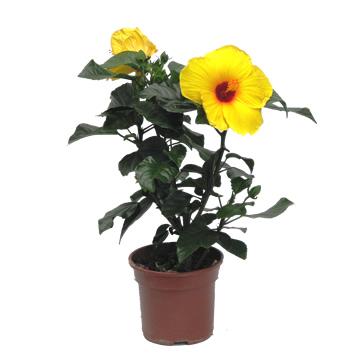 Planta De Exterior - Arbustos  Perennes - Hibiscus Coleccion C19 Colores Variados
