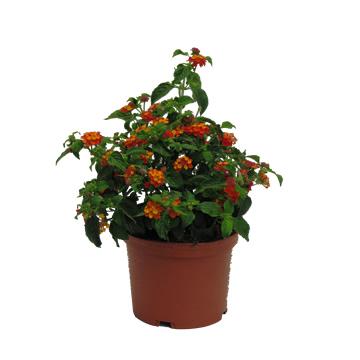 Planta De Exterior - Arbustos  Perennes - Lantana Maceta 14cm