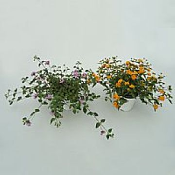 Planta De Exterior - Arbustos  Perennes - Lantana Camara Maceta15cm